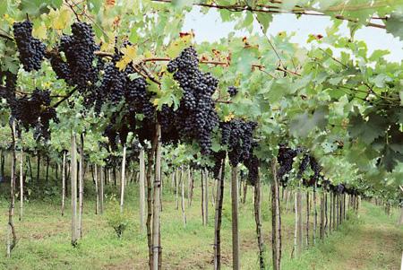 Vinícola Don Laurindo - vinhedos (Fonte:http://www.sitedovinhobrasileiro.com.br)