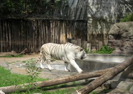 A elegância do tigre branco...