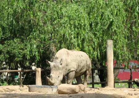 Enfim, o rinoceronte!